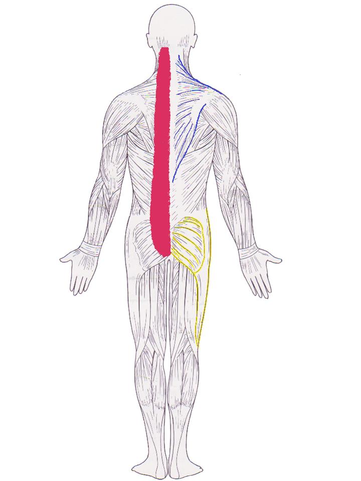脊柱起立筋 僧帽筋 殿筋から腸脛靭帯
