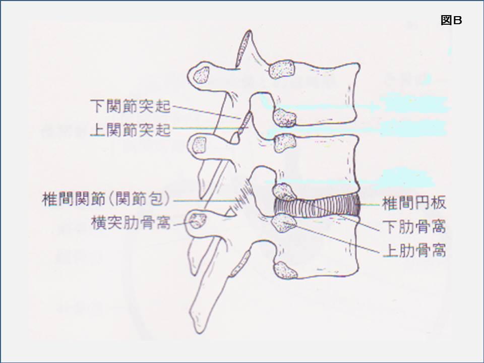 胸椎 椎間円板