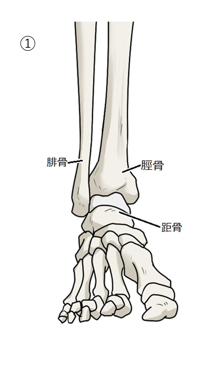 足関節の構造
